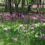 宍粟市・ちくさ湿原に群生するクリンソウを見に行く