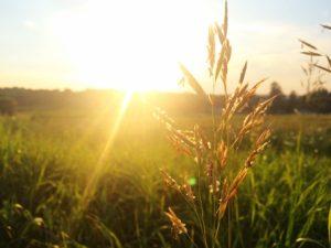 小麦イメージ画像