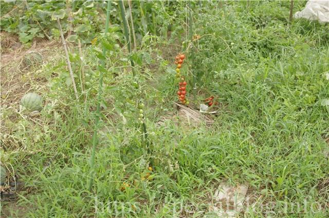 畑で育つスイカとトマトの画像