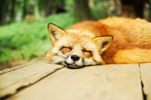 すやすや寝ている狐の画像