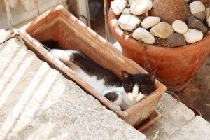 プランターで眠る猫