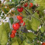 ベランダで野菜を育ててみました。読んだらミニトマトを育てたくなる本。